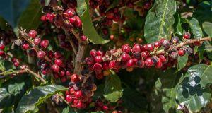 Zralá káva  - Kostarika Tarrazú