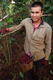 Laoský sběrač kávy v akci