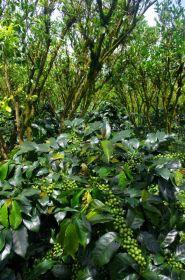 Kávovníky rostoucí ve stínu citrusových rostlin, Kintamani, Bali