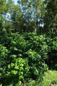 Kávovníky rostoucí v horském údolí ve stínu stromů pod závlahou