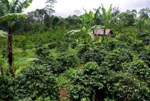 Kávovníková plantáž, Cantur, Bali