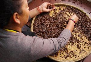 Ruční selekce kávových zrn